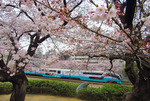桜の中の251系、特急『スーパービュー踊り子』。